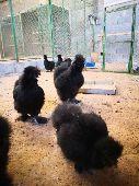 للبيع دجاج سلكي اسود صك