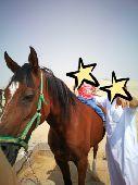 فرس  حصان مهر