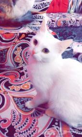 قطه انثى