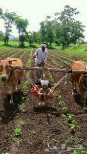 استقدام مزارع خبرة بزراعة بيوت المحمية ونخيل