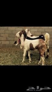 ثلاثه جفار هولندية انباعت الله يبارك لراعيها