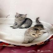قطط شيرازي واقبل بالبدل ياخذهم الاثنين ويعطيني هملايا