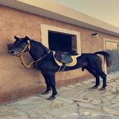 حصان اسود