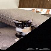 قطة صغيره للبيع 400 مع الاغراض