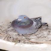 حمام زاجل شرط انتاج
