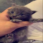 قطط للحجز كيتن شيرازي
