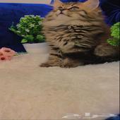 قطه كتن جمييله شيرازي بيور شعر كثيف