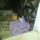 للبيع بادجي جفرة دجاج فيومي صيصان