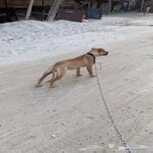 كلب بتبول العمر 6 شهور