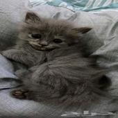 قطه صغيره للبيع 800