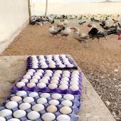بيض مخصب مضمون