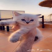 قطط قطة شيرازي