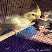 طير كروان