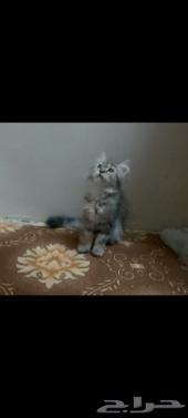 قطة صغيرة كتن شيرازي امريكي (قطط)