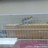 طيور زوج كروان لاتينو ونورمال للبيع