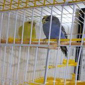 للبيع طيور حب بالقفص