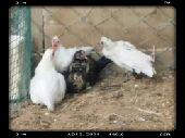 دجاجه بلديه قزمه بعياله