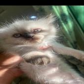 قطط شوكلت سلفر اورنج للبيع