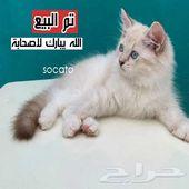 قطط راغدول بيور كتنز قطو صغير تم البيع
