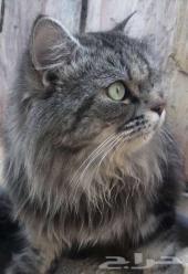 قط شيرازي لطيف جدا