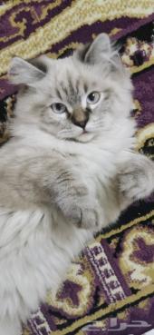 قط هملايا شيرازي