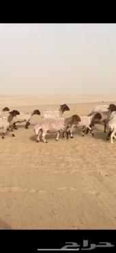 غنم مراح منوه القناي رغايث ودفيع