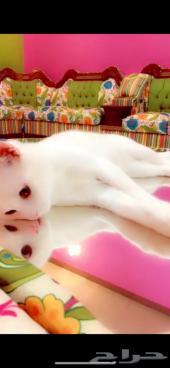 قطة أنثى