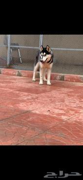 كلب هاسكي 7 شهور للبيع 2500