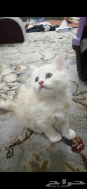 قطه صغيره شيرازي مع اغراضها