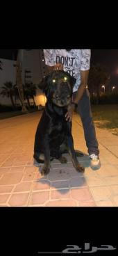 كلب روت وايلر