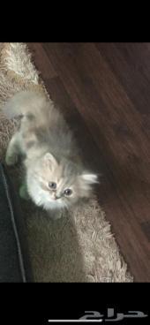 قطة شيرازي فيس مون