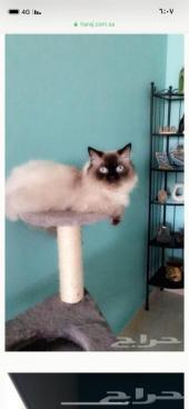 ذكر قط هيملايا جاهز للتزاوج فقط