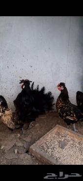 للبيع دجاجتين وديك