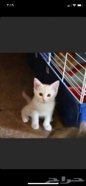 قطة شيرازية شهرين