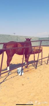 حصان انجليزي