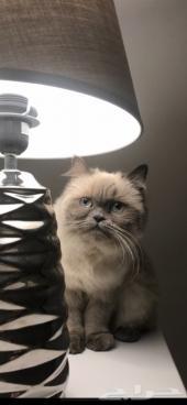 قطة مفقوده في حي اليرموك ( توجد مكافأة ماليه)