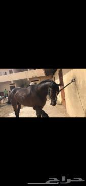 حصان للبيع محتاج فلوسه