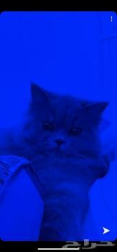 قطة شيرازي هاف بيكي