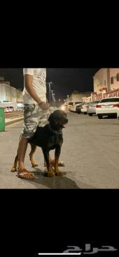 روت وايلر Rottweiler الماني