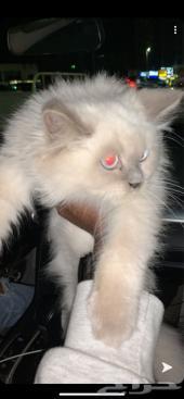 قطة للبيع هملايا