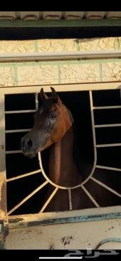حصان مصري للليع