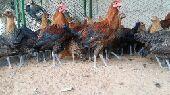 (تم البيع)دجاج فيومي مصري أصل .الذهبي