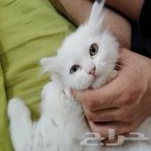 قطه اليفه مع شهادة الاططعم