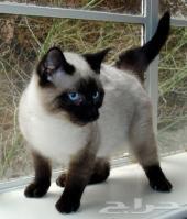 مطلوب قطة سيامي صغار أو كبار