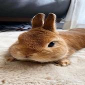 ارنب العدد 100 للبيع