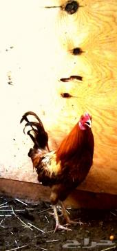 ديك ودجاجه فيومي ذهبي