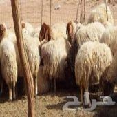 غنم نعيم للبيع 38 راس اشباب السوم 700 سالمه