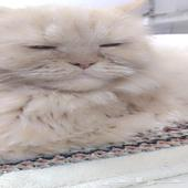 قطة انثى بيكي فيس للبيع وكيتنز للتبني بسعر ال