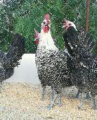 بيض دجاج فيومي سوبر جانبو مميز سلاله نقيه جدا