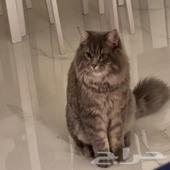 قط شيرازي - ذكر